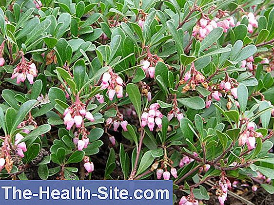 Bearberry list